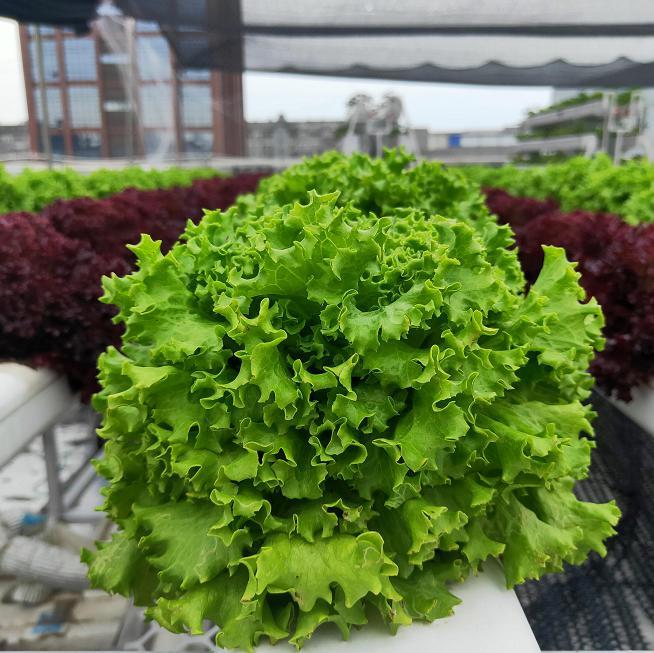 荣成农业 2蔬乐管水培管种植的生菜