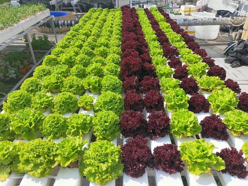 蔬乐管水培管道种植的生菜
