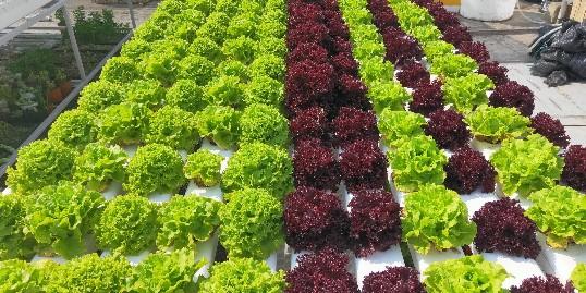 无土栽培成种菜新方向!