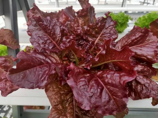 荣成农业 1蔬乐管种植的生菜