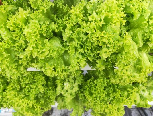 荣成农业 2蔬乐管种植的生菜