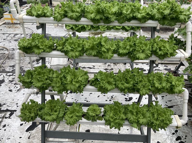 荣成农业 2幸运买家种植架种植的生菜