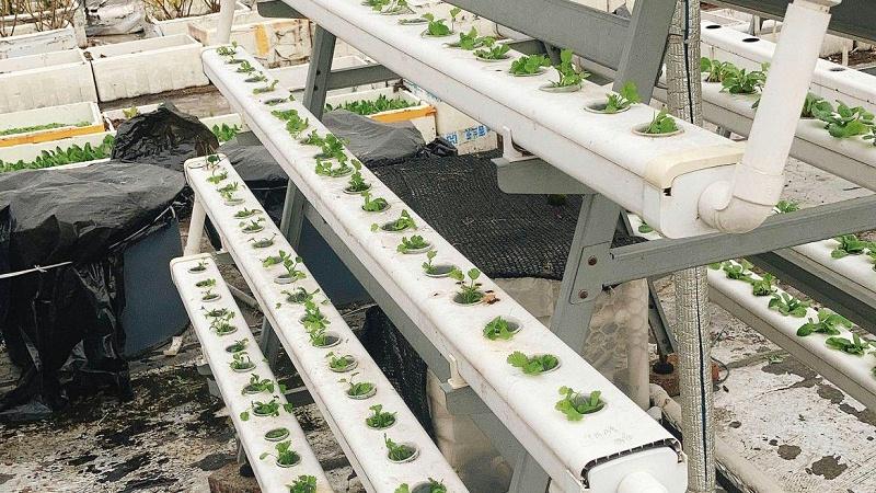 无土栽培管道香菜苗