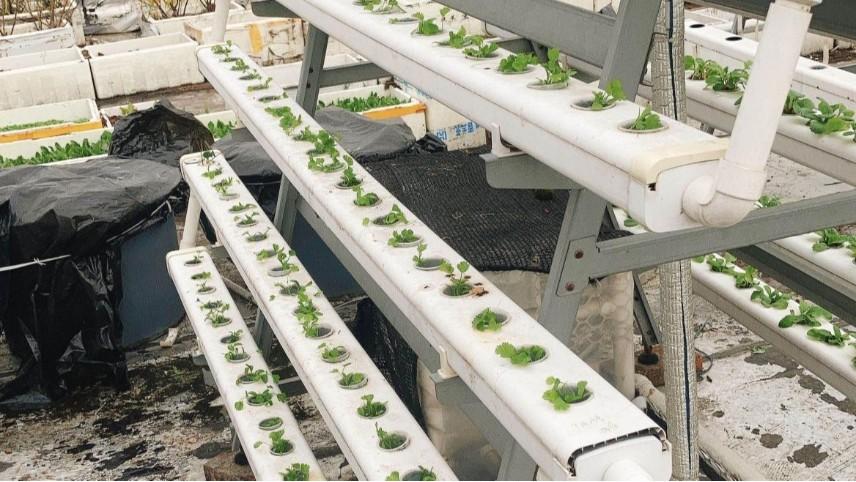 冬天你好!阳台的无土栽培香菜你好!