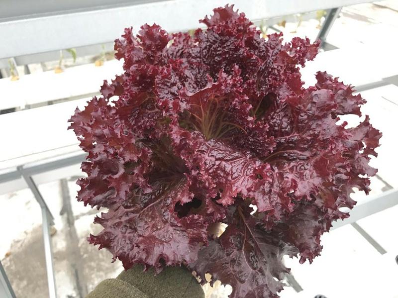 蔬乐管水培管道种植的紫叶生菜