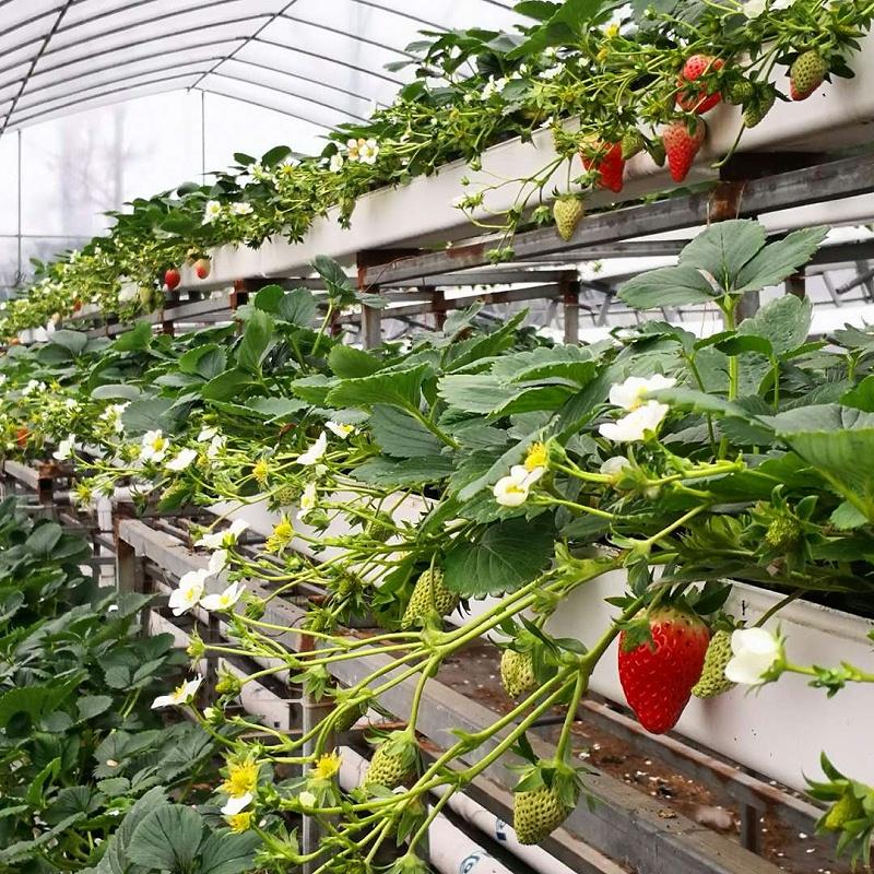 大棚水培草莓