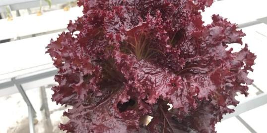 管道水培蔬菜,安全美味健康菜
