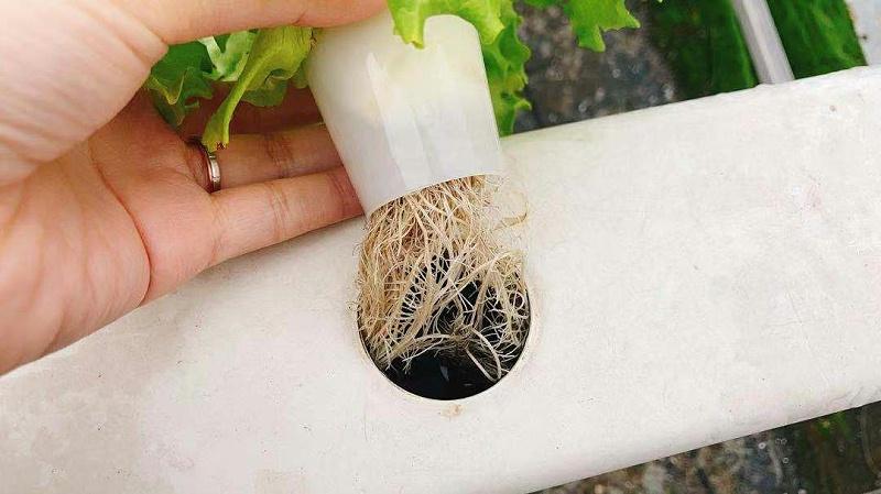水培植物完全依靠营养液供给生长,所以营养液成分配方精密,直接影响植物状态
