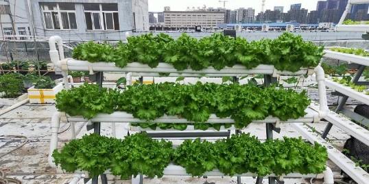 阳台水培蔬菜,都市生活的一缕绿色