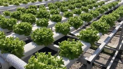 水培蔬菜做的沙拉,营养价值高到离谱!