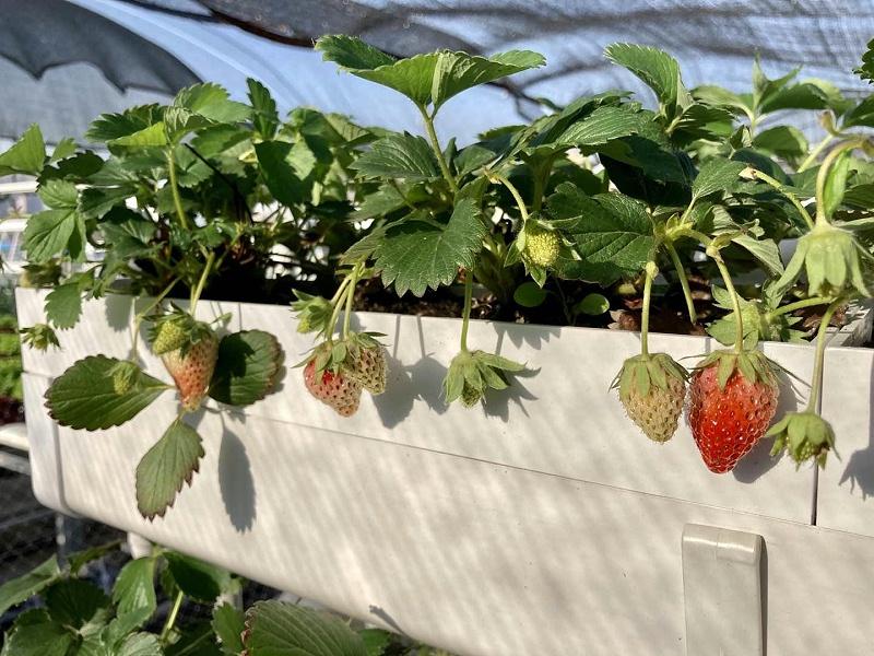 图:南通荣成农业 草莓立体种植槽架 农耕乐