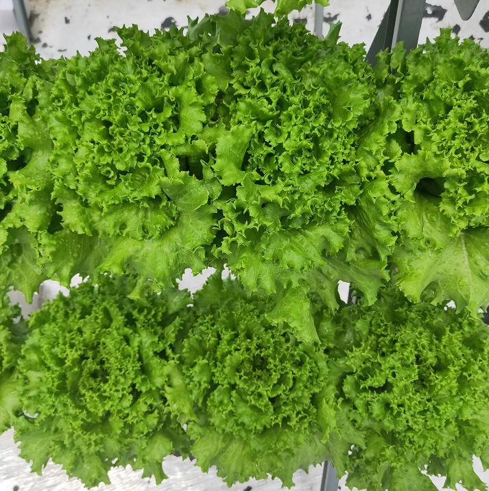 荣成农业 种植架种植的生菜