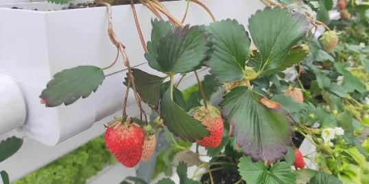 """无土栽培草莓立体种植,选择""""蔬乐管""""!"""