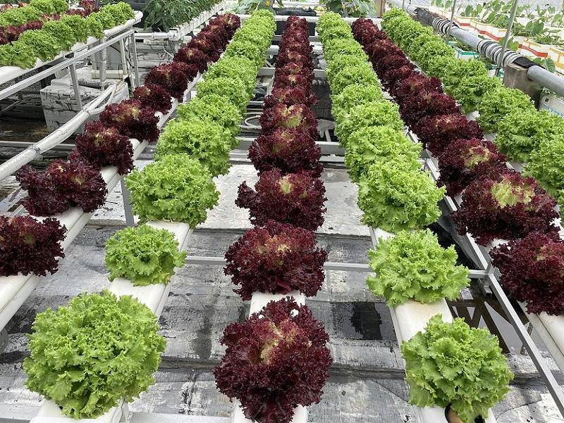 荣成农业 1蔬乐管无土栽培管道种植的生菜