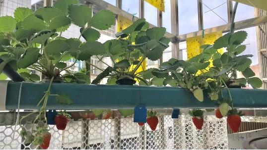 城市的居民不用土种出又大又甜的无土栽培草莓?居然是这么种的!