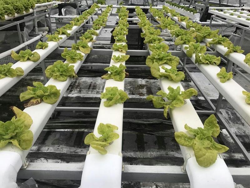我用蔬乐管水培的蔬菜