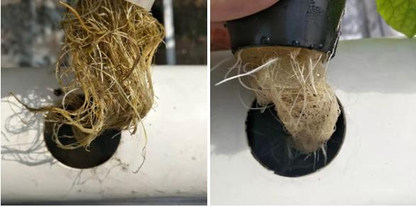 普通的PVC管道植物水培根系和蔬乐管管道水培植物根系对比照