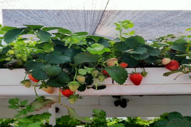 图:南通荣成农业农耕乐种植的草莓