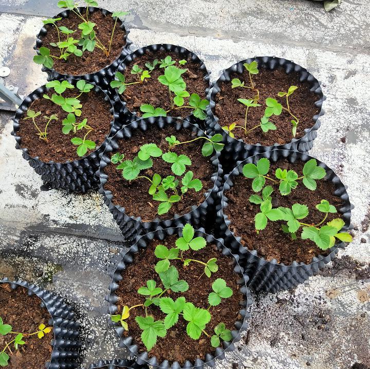 荣成农业 2基质栽培的草莓