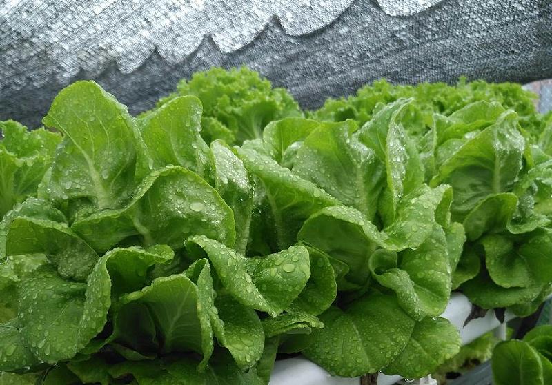 图:108颗菜种植架 水培蔬菜