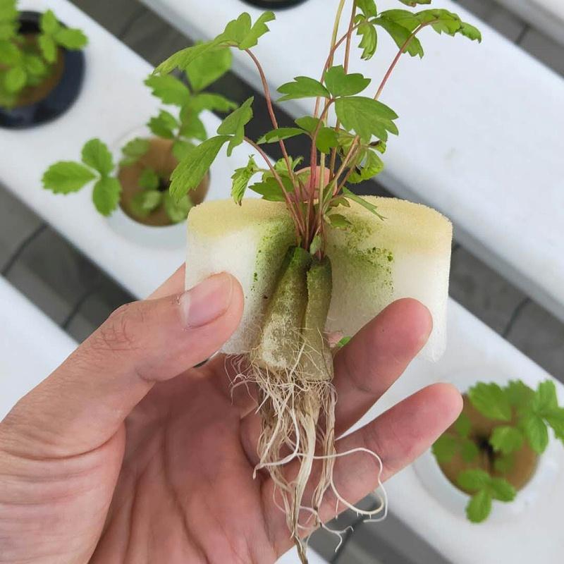 图:南通荣成农业 育苗海绵 水培草莓