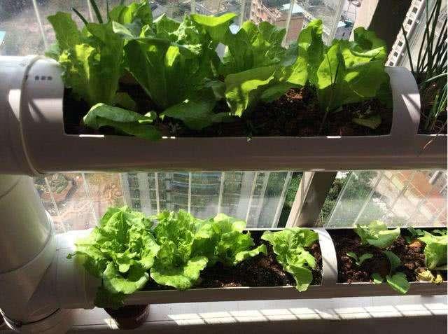 普通PVC管阳台种植的蔬菜