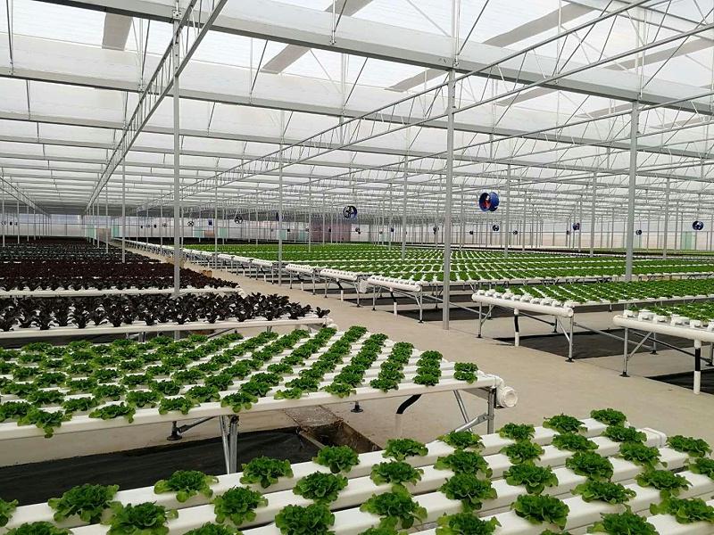 图:无土栽培 水培蔬菜