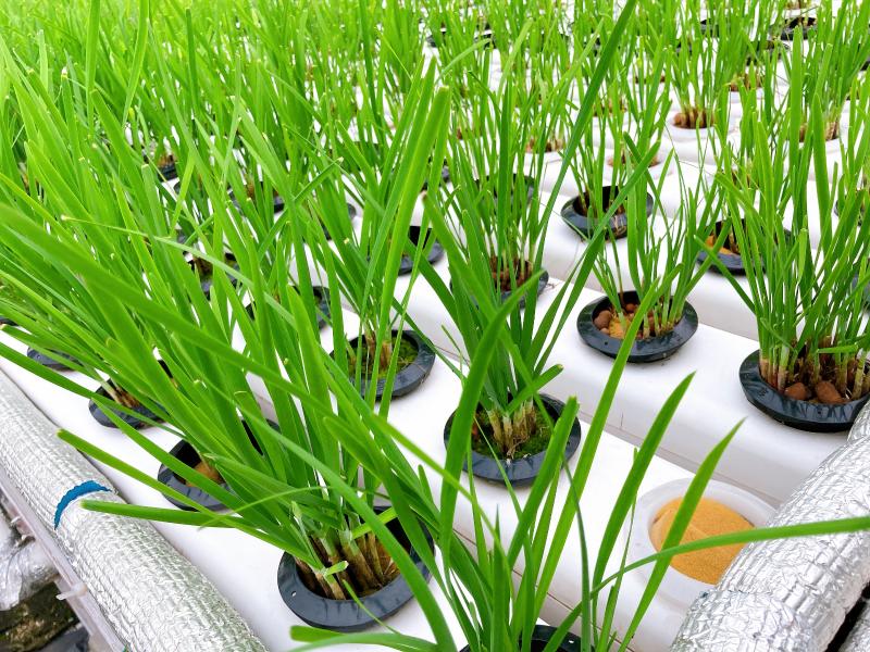 图:南通荣成农业10060中空水培管道种植的韭菜