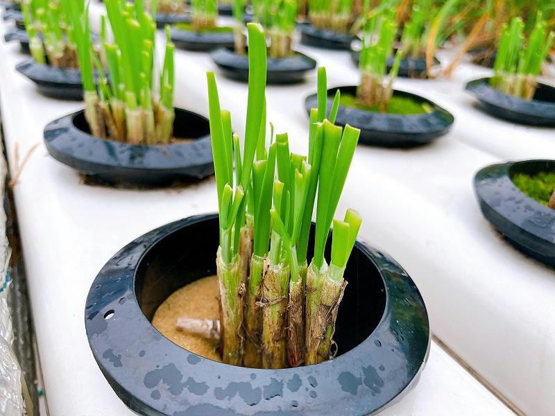 图:南通荣成农业收割后的韭菜