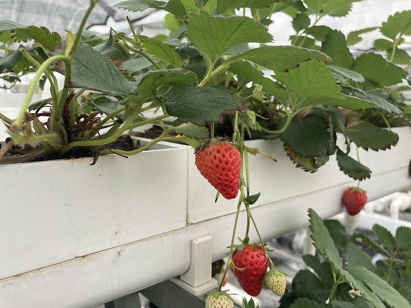 江苏荣诚农业农耕乐种植架水培草莓