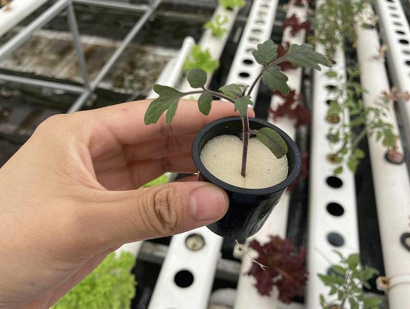 荣成农业 水培番茄