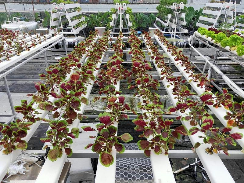 图:南通荣成农业种植槽种出的苋菜
