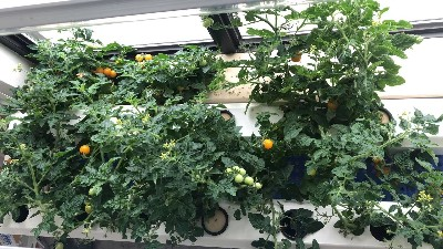 阳台种菜,谁能想到番茄还能这么种!