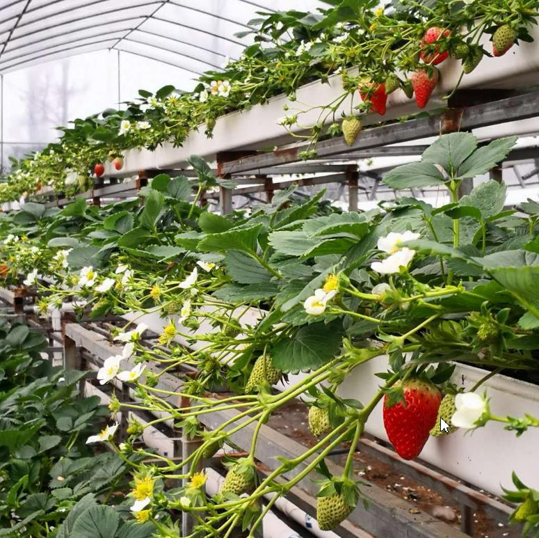 荣成农业 1蔬乐管无土栽培管道种植的草莓
