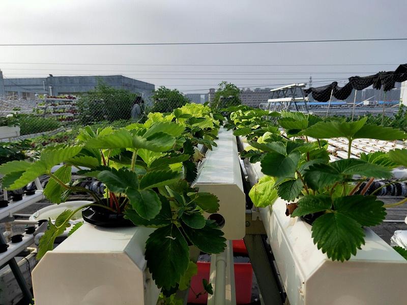 管道水培草莓