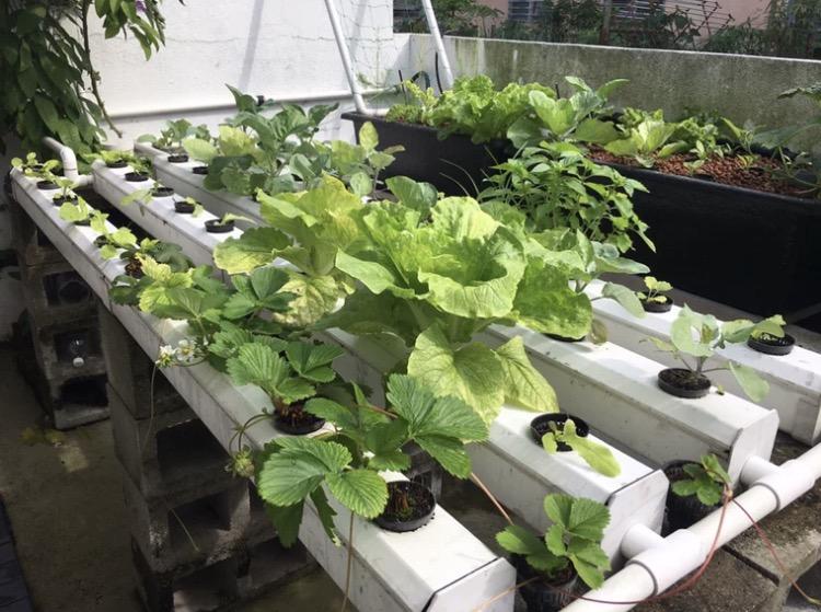 """图:""""蔬乐管""""水培管种植的草莓"""