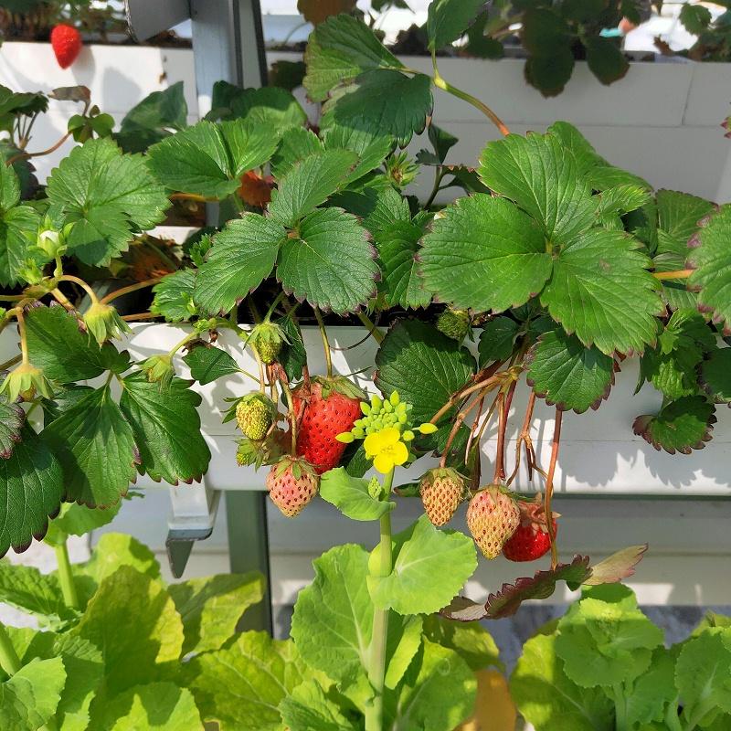 图:南通荣成农业 无土栽培草莓