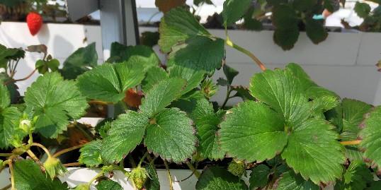 选对草莓立体种植架子,让你种好草莓!