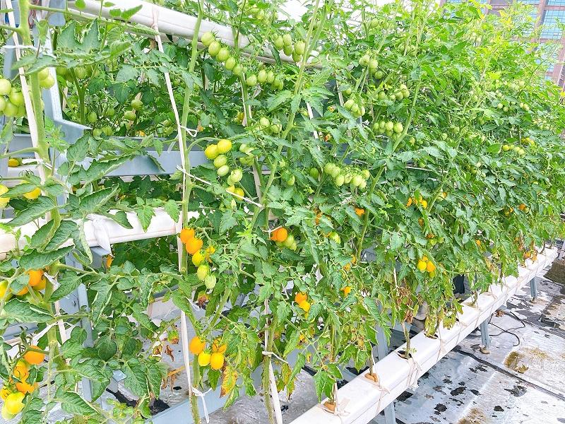 南通荣成农业 无土栽培番茄