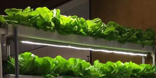 在室内绿化中无土栽培蔬菜的价值!
