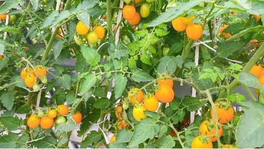 口水预警!无土栽培水培番茄,咬一口,好吃到流泪!
