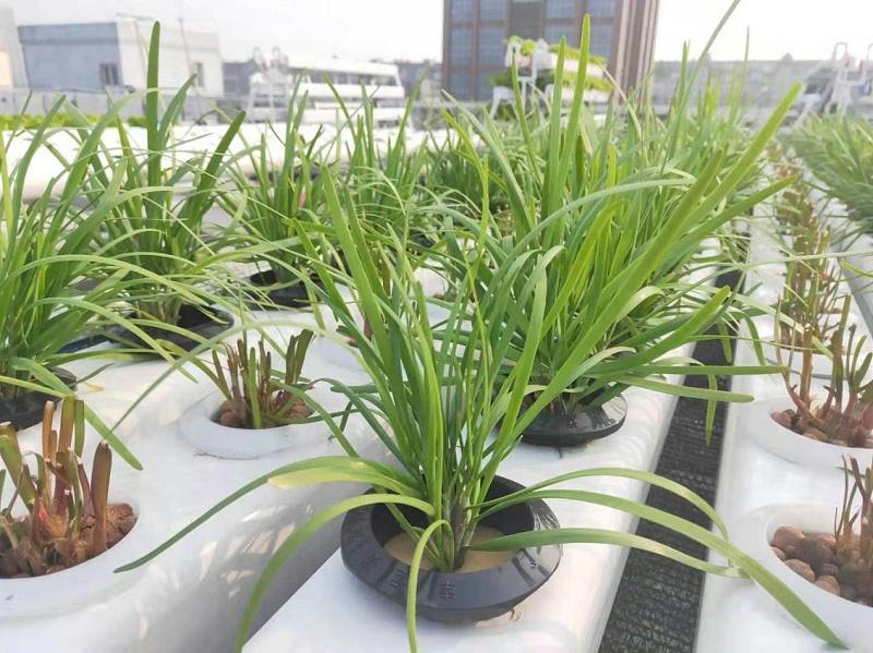 蔬乐管水培管道种植的韭菜 2