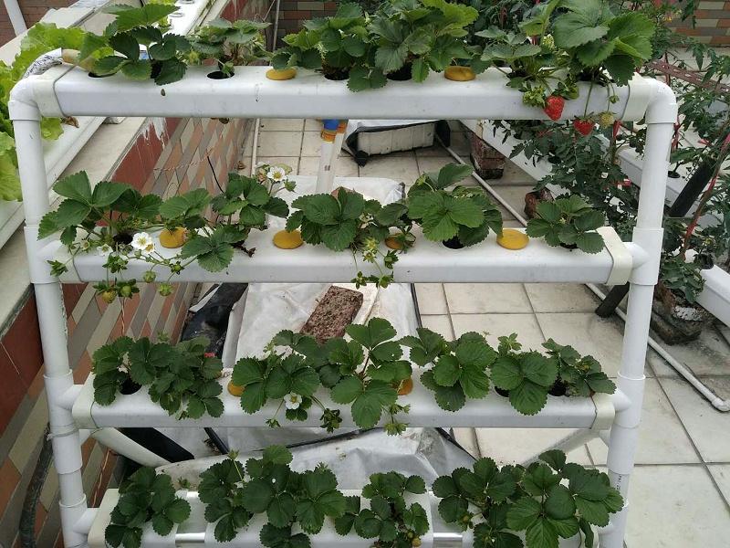 图:南通荣成农业 立体种植架 水培草莓