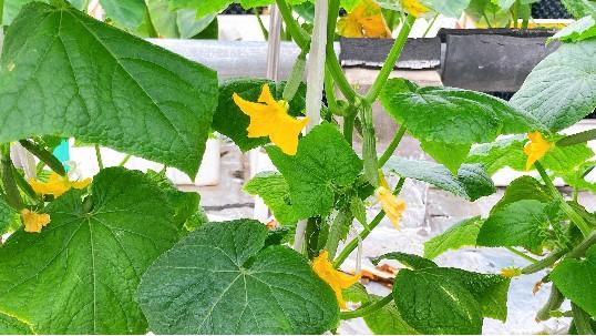 反季节蔬菜:无土栽培黄瓜怎么种?