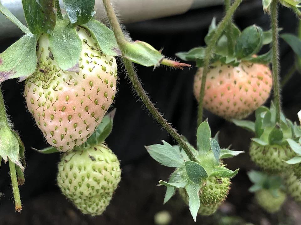 草莓栽培槽,认准江苏荣诚农业!